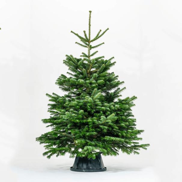 Real Nordmann Fir Christmas Trees